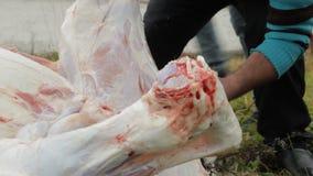 De mensen op het landbouwbedrijf snijden en ontmantelen het karkas van een jong kalf, close-up, kalf stock video