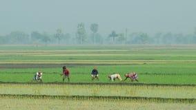 De mensen planten rijst bij het padieveld in Jessore, Bangladesh stock video