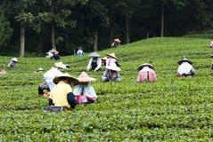 De mensen plukken thee Stock Afbeelding