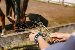 De mensen` s handen worden gevoed met hooipaard De Ochtend van de zomer royalty-vrije stock fotografie