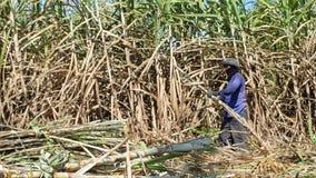 De mensen snijden suikerriet Stock Foto