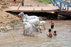 de mensen wassen hun koeien Royalty-vrije Stock Afbeeldingen