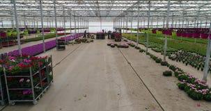 De mensen werken in een serre, een serre met bloemen, het mensenwerk die met bloemen in een serre, installaties kweken van stock footage