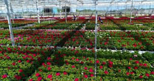 De mensen werken in een serre, een serre met bloemen, het mensenwerk die met bloemen in een serre, installaties kweken van stock video