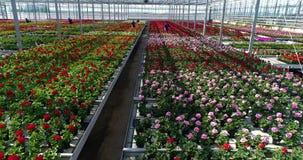 De mensen werken in een serre, een serre met bloemen, het mensenwerk die met bloemen in een serre, installaties kweken van stock videobeelden