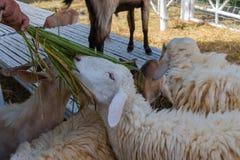 De mensen worden gevoed witte schapen Stock Fotografie