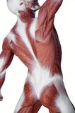 De mensenanatomie van de spier stock foto's