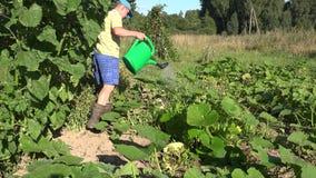 De mensenjongen giet water op de plantaardige installaties van de tuincourgette met gieter in de zomerdroogte 4K stock video