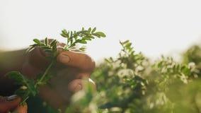 De mensens handen houden een tak van tot bloei komende kekers stock footage