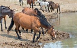 De merrie drinkwater van Dunbucksin met kudde van wild paarden bij waterhole in Pryor-de Waaier van het Bergenwild paard in Monta Royalty-vrije Stock Afbeeldingen