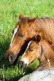 De merrie en het veulen van het kwart-paard Royalty-vrije Stock Foto