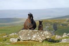 De merrie van Dartmoor met nieuw - geboren veulen Stock Fotografie