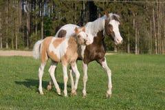 De merrie van de poney met weinig veulen Stock Foto