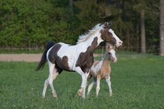 De merrie van de poney met weinig veulen Royalty-vrije Stock Afbeeldingen