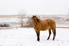 De Merrie van Dun in Sneeuw Royalty-vrije Stock Foto's