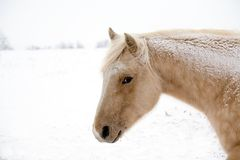 De merrie van Palomino in de winter Stock Fotografie