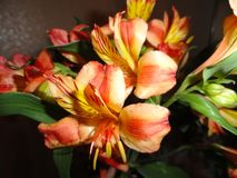De mest härliga mest favorit- delikata ljusa blommaliljorna royaltyfri bild