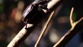 De mestkever klampt zich aan een takje vast stock video