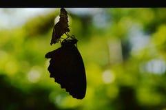 De metamorfose van de silhouetvlinder van cocon en treft aan het vliegen op aluminiumwaslijn voorbereidingen in tuin stock foto