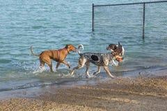De metgezellen van het hondpark in een vijver dichtbij zijn zandig strand Royalty-vrije Stock Fotografie