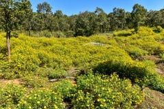 De Mexicaanse goudsbloem van de tournesolboom Stock Foto's