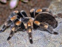 De Mexicaanse redkneetarantula, Brachypelma-smithi, is een grote harige spin royalty-vrije stock foto