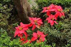 De Mexicaanse traditionele Poinsettia van de Kerstmisbloem Stock Foto's