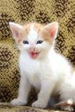 De miauw van huisdierenkatjes Stock Foto's