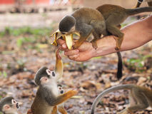 de micos Isla Los Zdjęcie Royalty Free