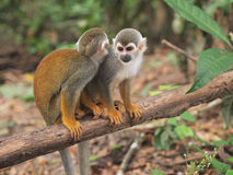de micos Isla Los obraz stock