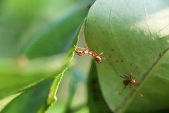 De mier Stock Afbeeldingen