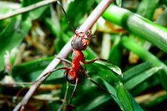 De mier is close-up royalty-vrije stock afbeelding