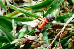 De mier is close-up stock afbeelding