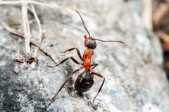De mier is close-up stock afbeeldingen