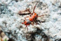 De mier is close-up stock foto's