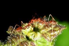 De mier communiceert binnen Stock Foto