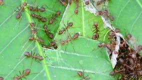 De mier herstelt nesten stock footage