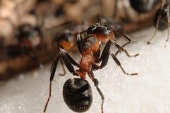 De mier van de heuvel (Formica rufa) Stock Afbeeldingen