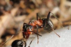 De mier van de heuvel (Formica rufa) Royalty-vrije Stock Afbeeldingen