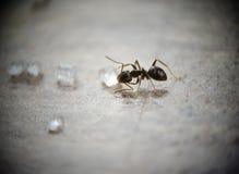 De mier van de suiker Stock Foto