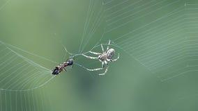 De mier van de spinvangst stock video