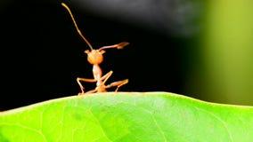 De mier verzendt signalen stock video