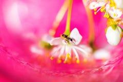 De mier zit op een tak van de kersenboom Een kersenbloesem op een roze achtergrond Royalty-vrije Stock Afbeelding