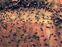 De mieren houden zeer ongebruikelijke eieren - geloof de rampen/regen zullen vallen Stock Foto's