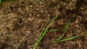 De mieren -mier-hiilockactiviteit van de tijdtijdspanne op groene achtergrond stock video