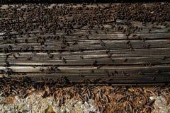 De mieren nestelen in hout - steek mieren in brand die op het houten oude huis kruipen royalty-vrije stock foto