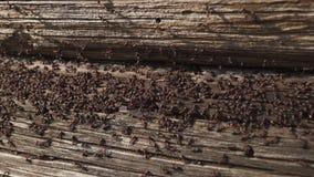 De mieren nestelen in hout - steek mieren in brand die op het houten oude huis kruipen stock videobeelden