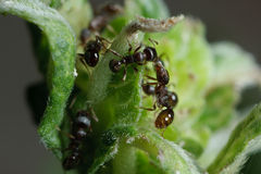 De mieren van de bestrating op het werk Royalty-vrije Stock Afbeelding