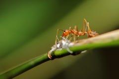 De mieren van de brand Royalty-vrije Stock Fotografie