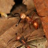 De mieren van het leger Stock Afbeelding